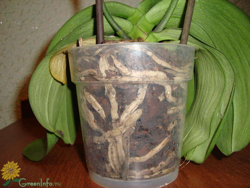 предприятий, почему вянет орхидея что делать могут быть предоставлены