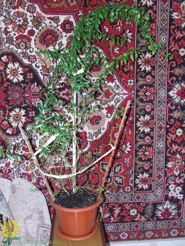 Гранатовое дерево комнатное