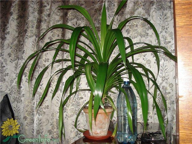 Цветы комнатные пальмы фото