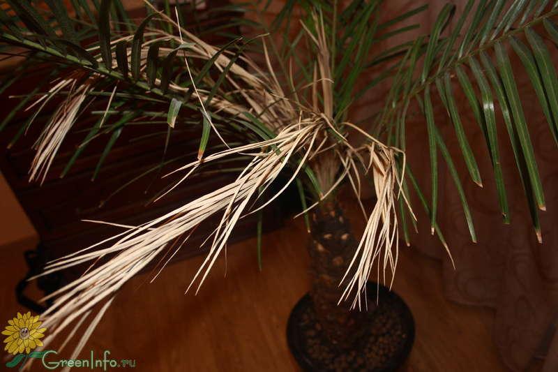 Гибнет финиковая пальма что делать
