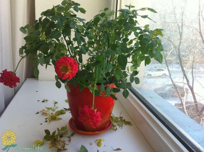 402К розы комнатной желтеют листья что делать