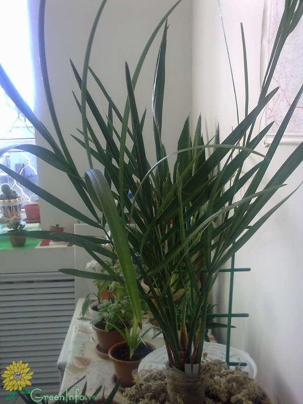 Веерообразная финиковая пальма  Форум  Финик