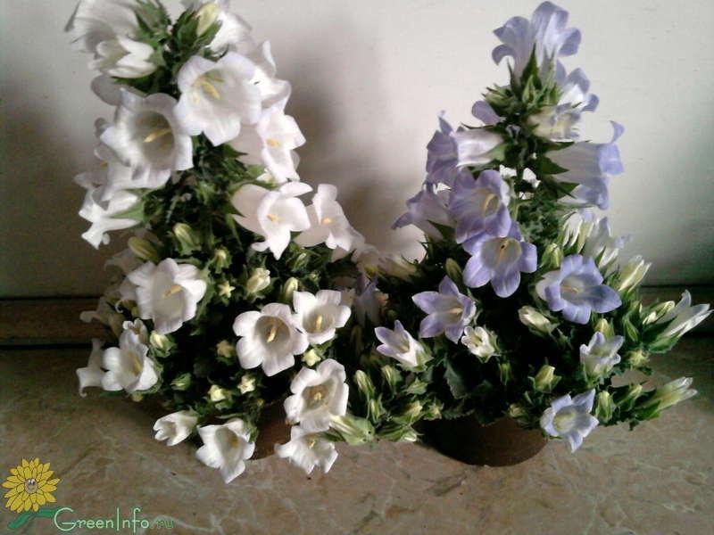 Живые цветы колокольчики купить москва, букет