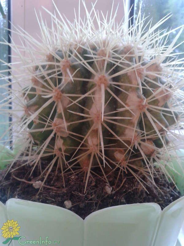 Засох кактус что делать фото