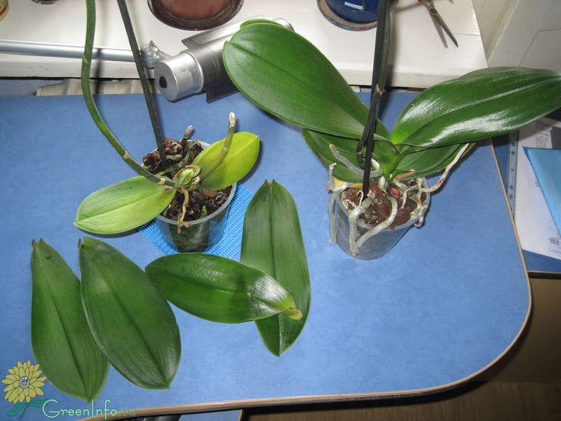 Опали листья у орхидеи почему