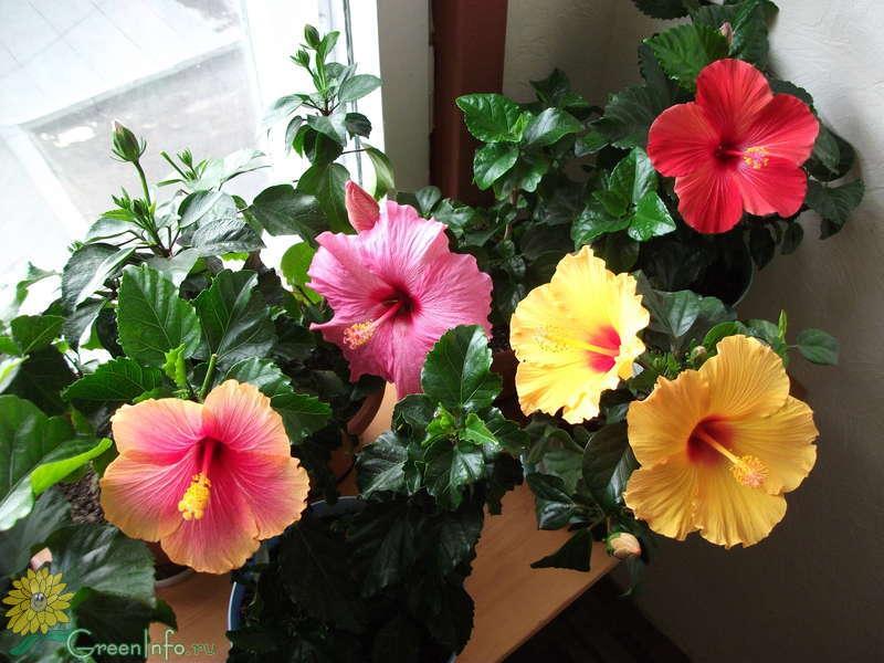 Комнатный цветок гибискус виды 25