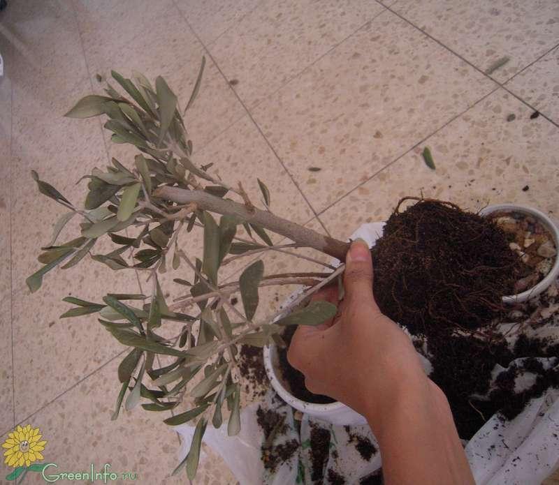 оливковое дерево уход - Комнатные растения, фото и названия ZB110