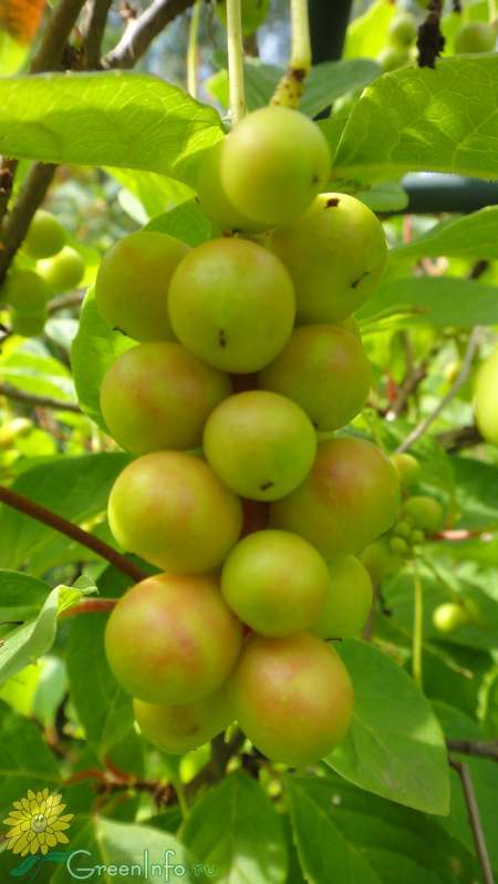 плоды лимонника