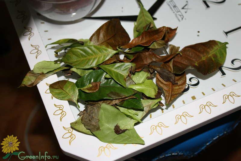 Если листья темнеют на гартении