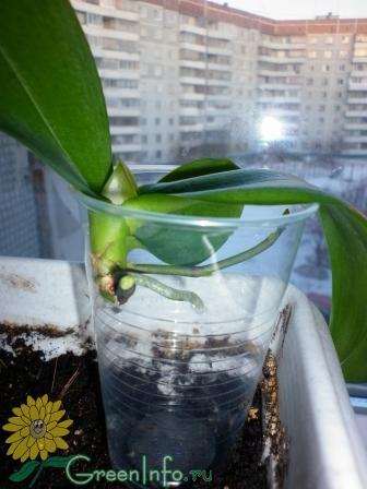Как у орхидеи отсадить детку