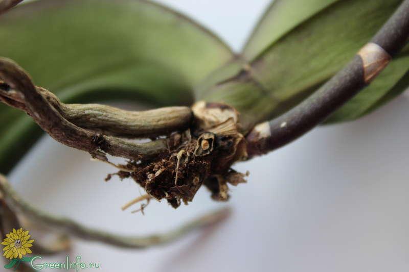 Корни у орхидеи высохли