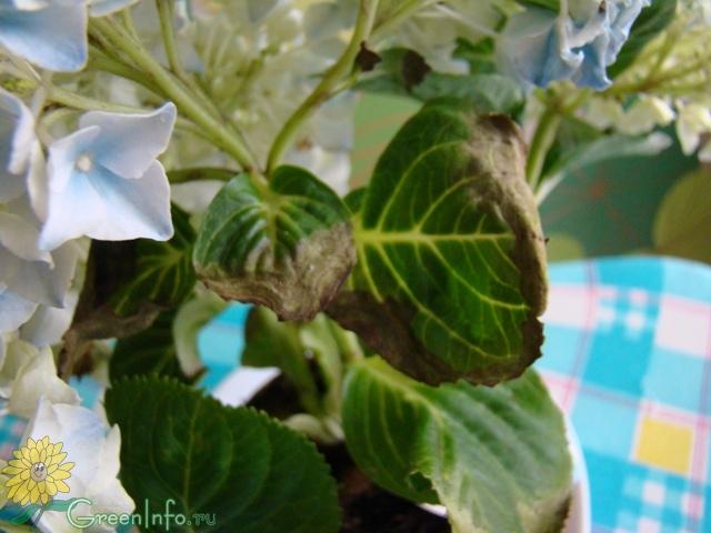 Сохнут у гортензии листья