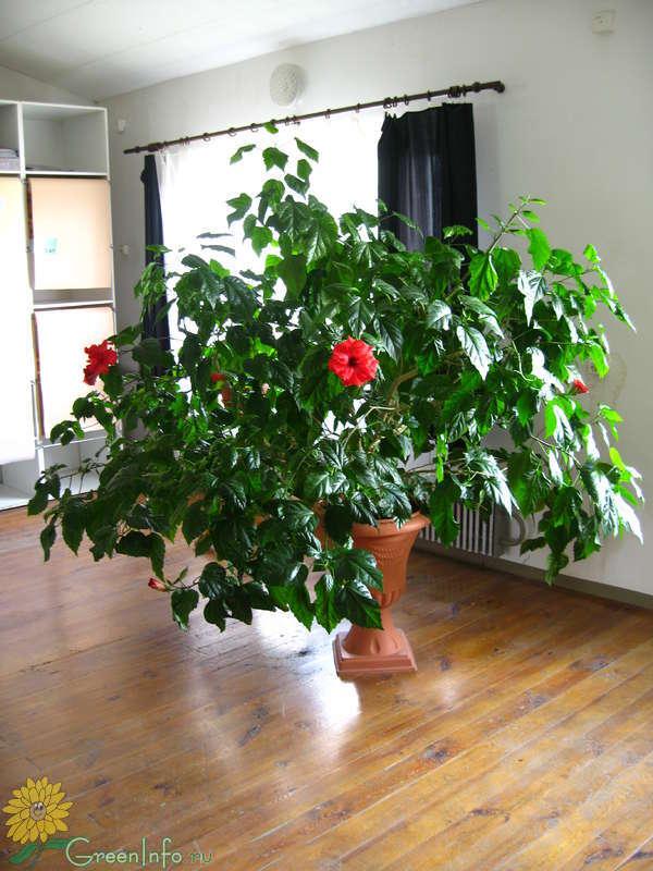 Как обрезать розу китайскую