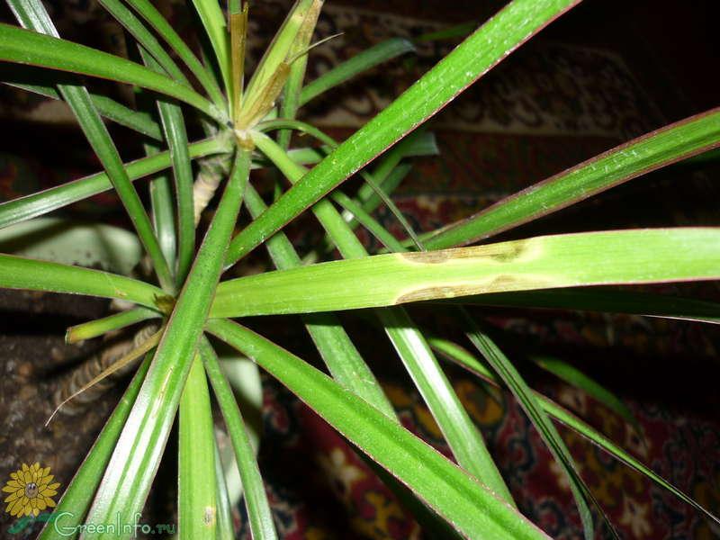размножение драцены кусочками ствола - Форум - Драцена - Декоративно-лиственные растения - Комнатные растения - GreenInfo.ru