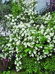 Душистые кусты жасмина будут волшебным фоном кустарниковой композиции