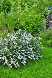 Спирея серая Grefsheim для спирейного кустарникового сада