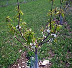 Выращивание яблони на карликовом подвое