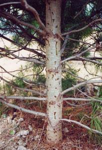 Кедр, пораженный короедами