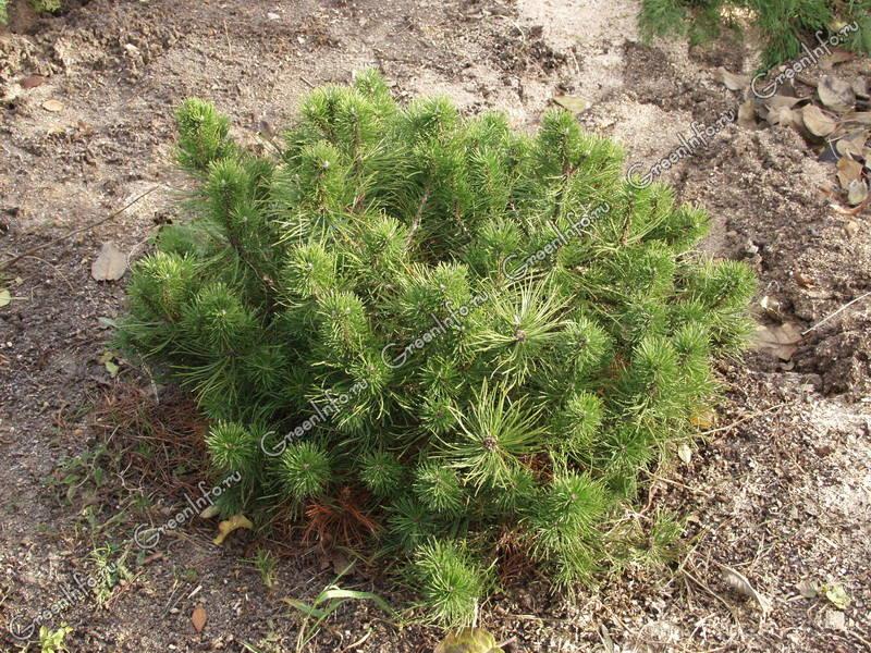 Сосна - Хвойные растения - Декоративные деревья и кустарники - GreenInfo.ru