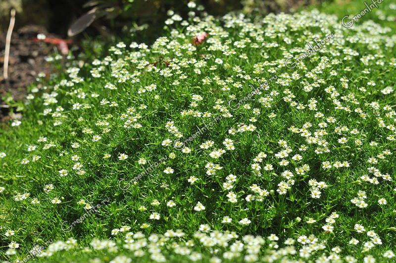 мшанка  цветов
