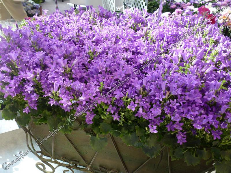 Колокольчик кампанелла цветок 6