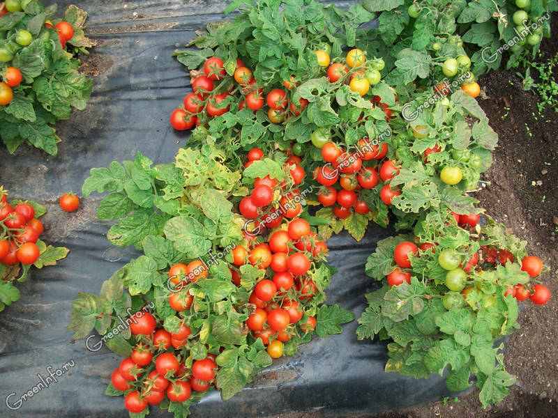 гном помидоры фото