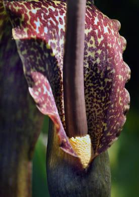 Сауроматум: фото, виды и особенности выращивания