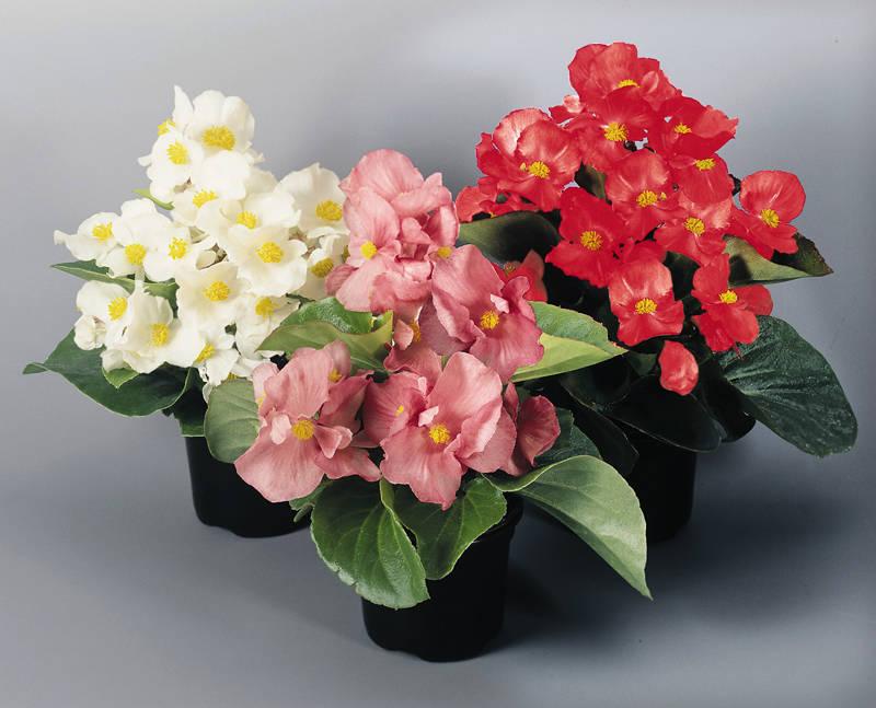 Бегония вечноцветущая: комнатное выращивание