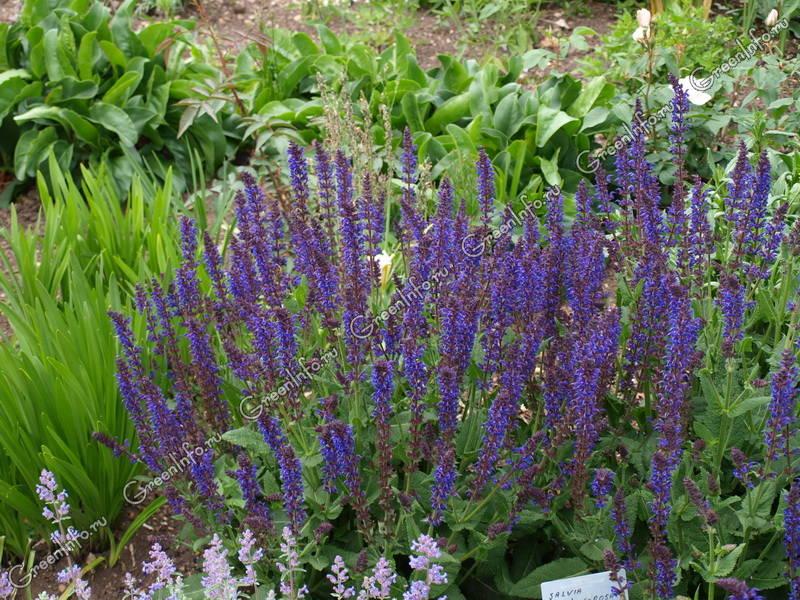 Сальвия дубравная описание фото цветов посев уход