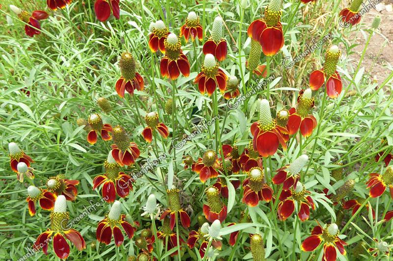 ратибида колоновидная цветок прерий
