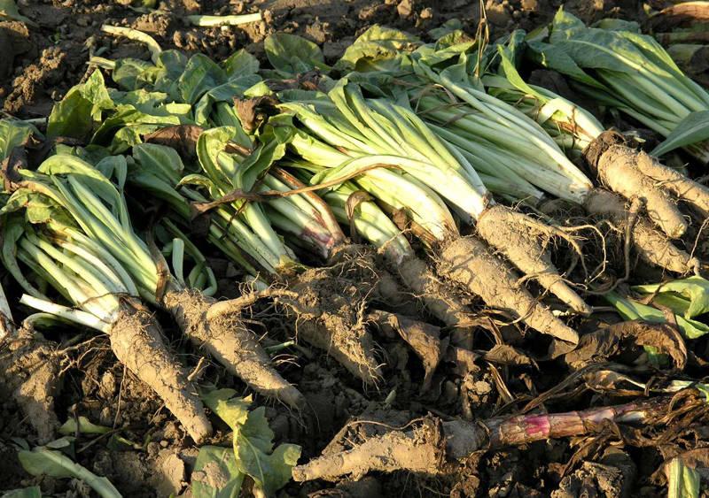 Цикорий фото растения и корня