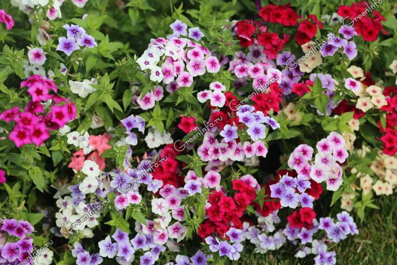 друммонда фото цветов