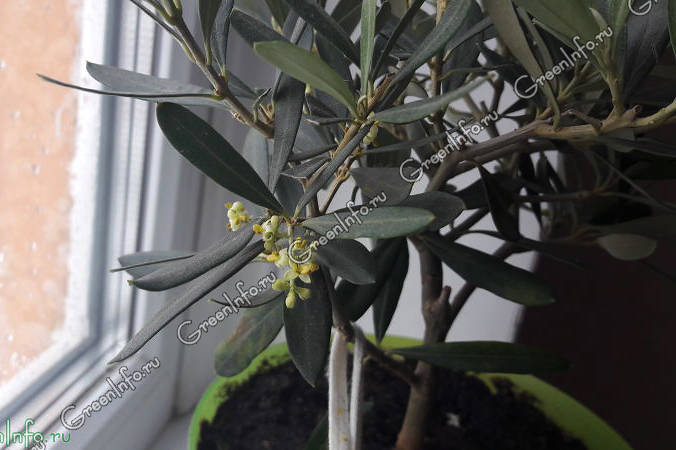 олива выращивание в домашних условиях