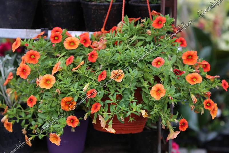 ампельные растения для квартиры фото и названия