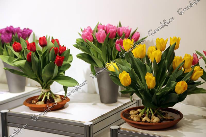 Выгонка тюльпанов. срезка и хранение.