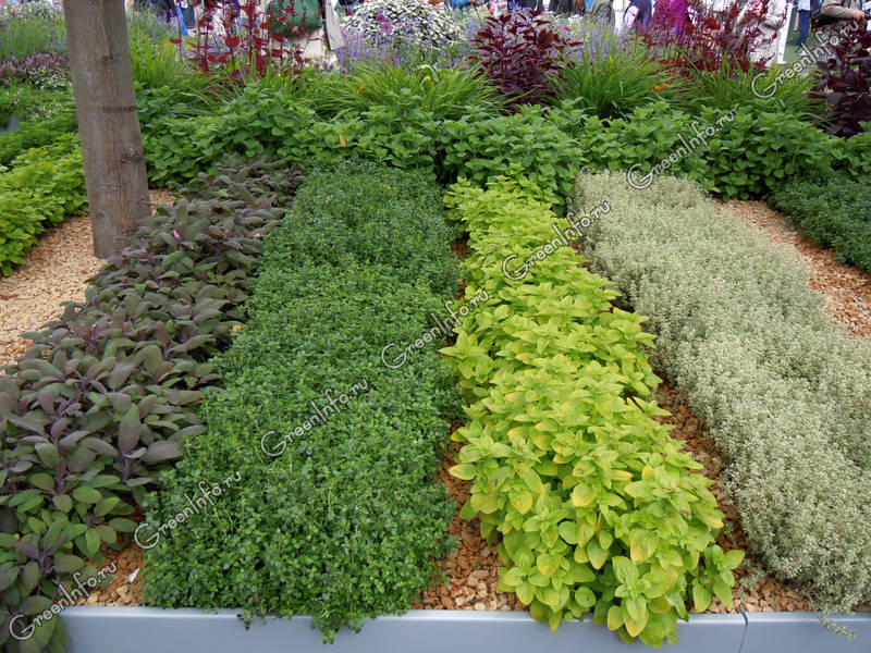 Тимьян фото и выращивание