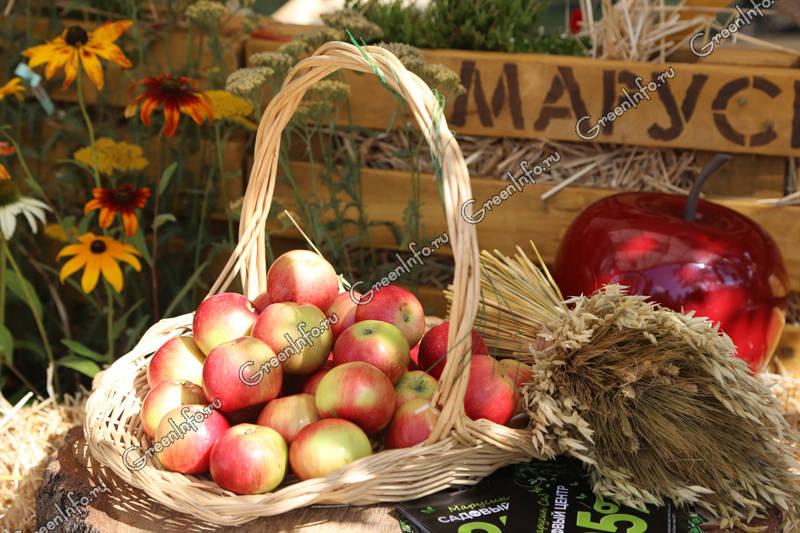 отвар яблок полезные свойства
