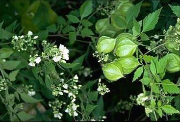 Кардиоспермум жонглер выращивание из семян