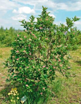 Рябина приземистая (Sorbus chamaemespilus)