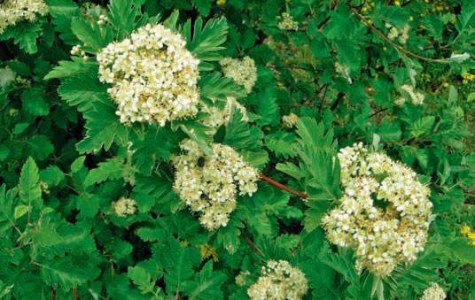 Рябина Мужо (Sorbus Mougeottii)