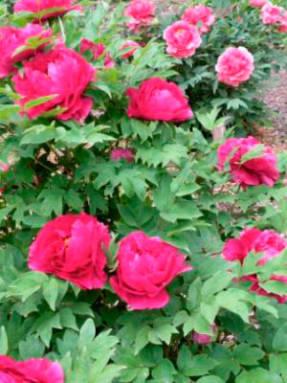 Пионы Диана Паркс 10 фото описание цветка особенности его выращивания