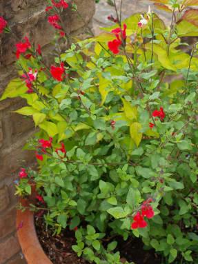Красная сальвия мелкодистная и ее красно-белый сорт Hot Lips