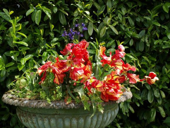 Попугайные тюльпаны, пенстемон и герань