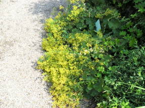 Манжетка желто-зеленая (Alchemilla xanthochlora)