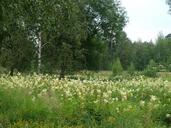 Лабазник вязолистный растет на влажных лугах