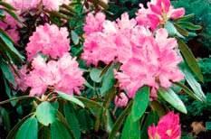 Посадка рододендронов весной, осенью и уход в открытом грунте: правила выращивания