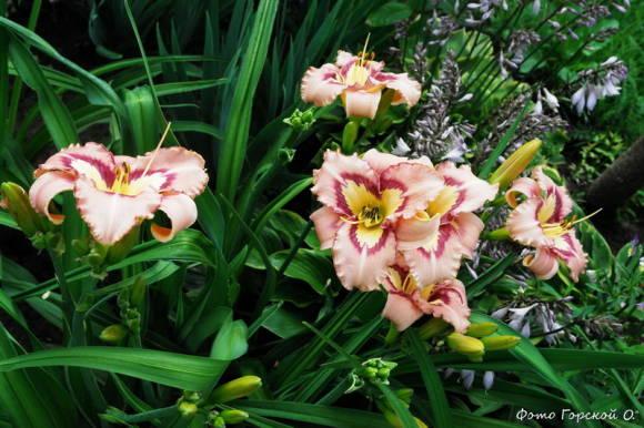 Лилейник гибридный Asian Applique