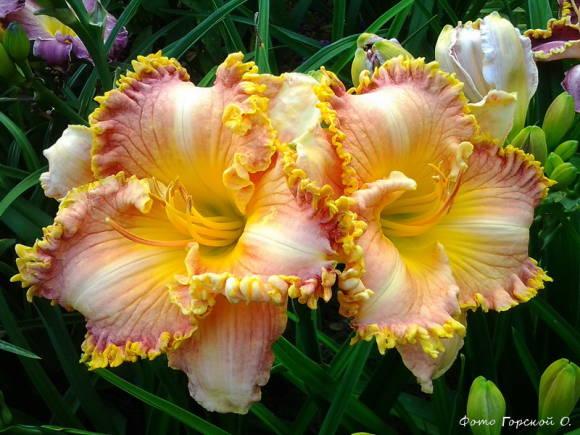 фото цветок лилейник