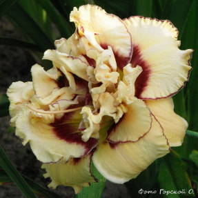 Лилейник гибридный My Friend Wayne - махровый цветок