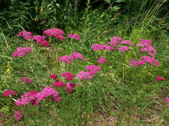 Тысячелистник обыкновенный f. rubra